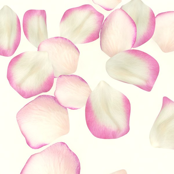 flower rose petal plant model