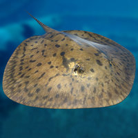 stingray swimming animation 3D model