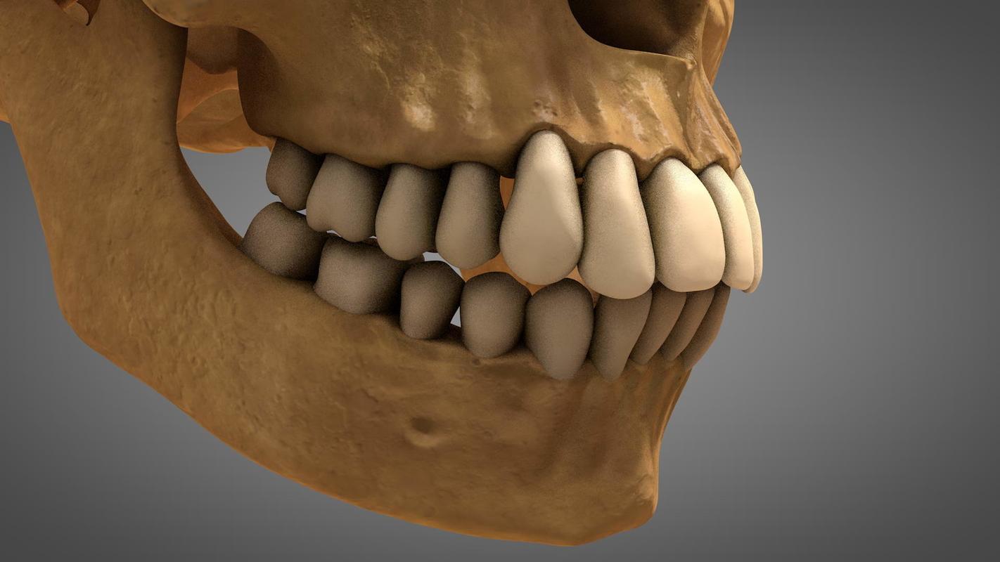 anatomical human skull teeth 3D model