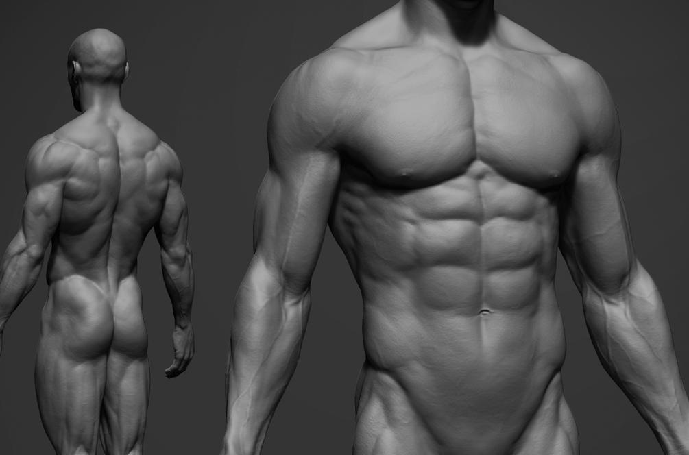 male anatomy 3D model