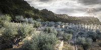 3d Olive tree X 4 pack!