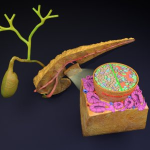 pancreas diabetes anatomy islets model