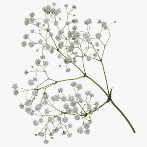 gypsophila paniculata 3D model