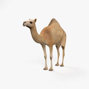 dromedary camel mammal 3D model