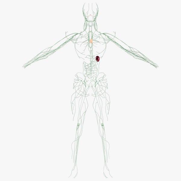 realistic lymphatic model