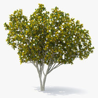 southern magnolia tree 3D model