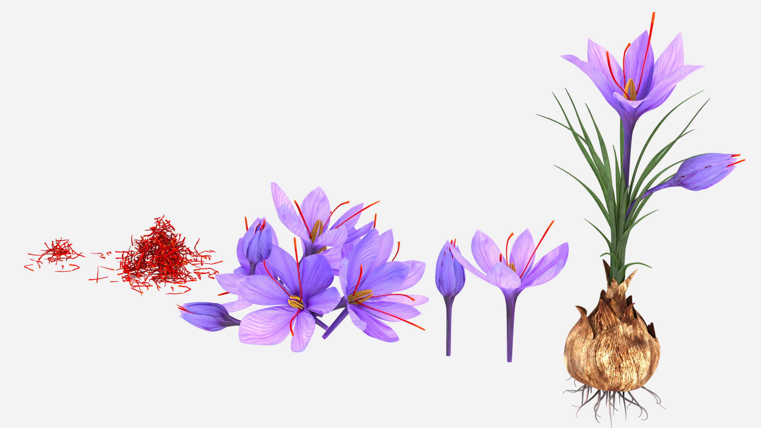 3d Plant Parts Crocus Saffron Model Turbosquid 1412211
