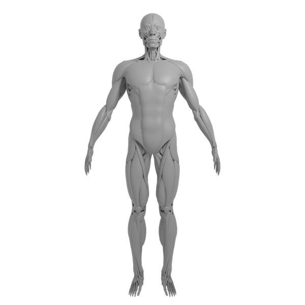 anatomy muscle model