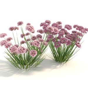 armeria plant grows model