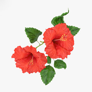 hibiscus flowers plant 3D