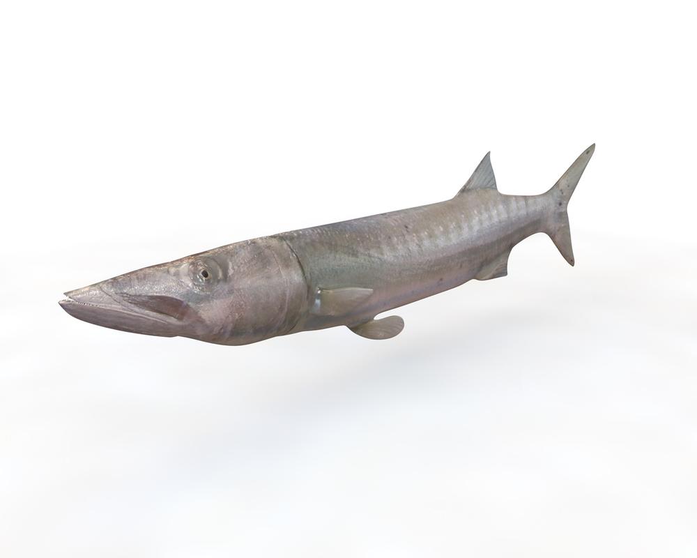 fish barracuda 3D model