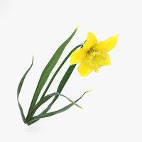 daffodil flowers plant model
