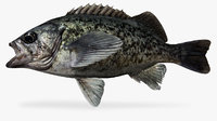 Blue Rockfish Sebastes mystinus