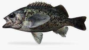 3D blue rockfish sebastes mystinus