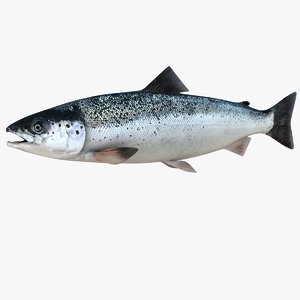 3D realistic atlantic salmon salmo model