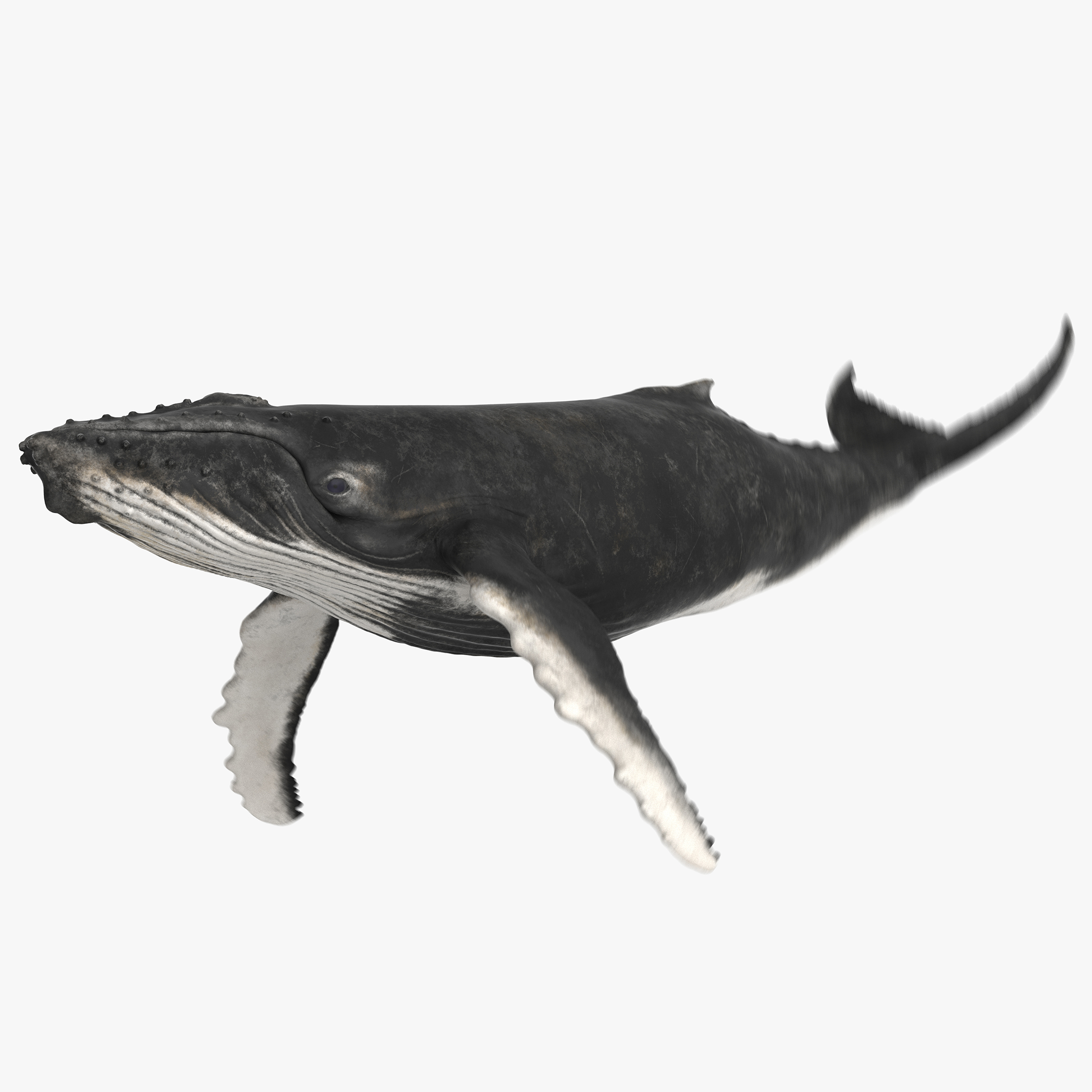 3D model humpback whale animation