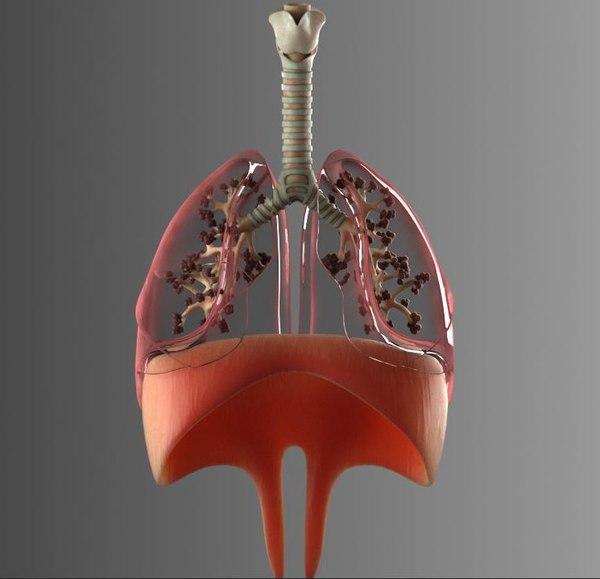 3D lungs bronchus