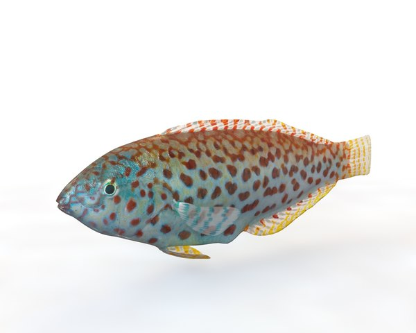 fish pakoko wrasse 3D