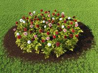 Flowerbed dahlias