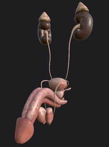 male reproductive testicles duct 3D model