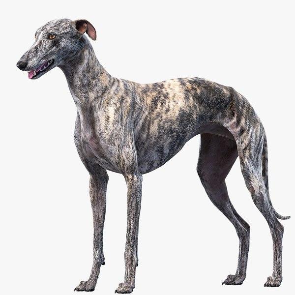 3D realistic greyhound