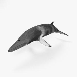3D minke whale model
