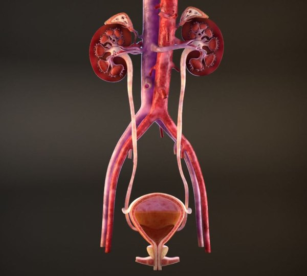 urinary cross section 3D