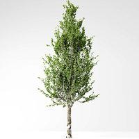 poplar tree model