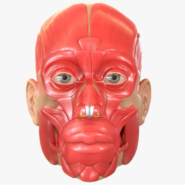 modeled muscles face anatomy 3D