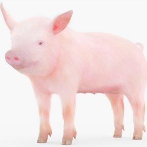 rigged piglet 3D