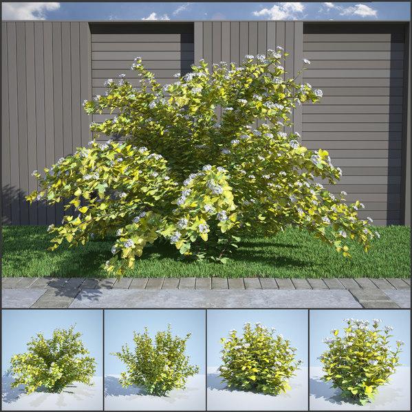 3D model 8 ninebark physocarpus opulifolius