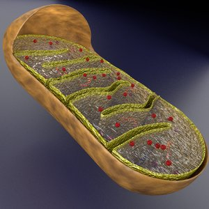 mitochondria labelled 3D model
