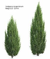 bush thuja coniferous juniperus model