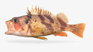 calico rockfish 3D model