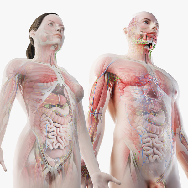 male female anatomy set model