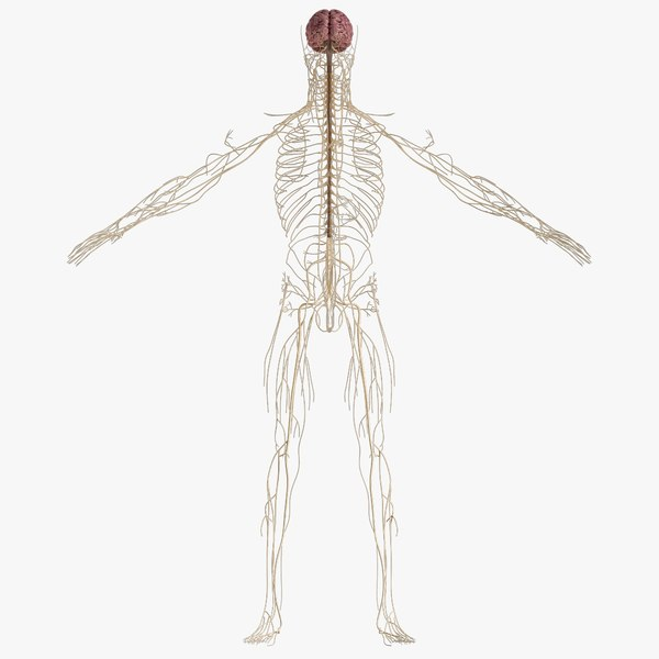 nervous anatomy brain model