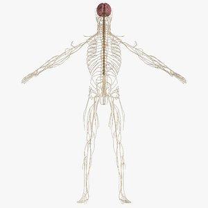 nervous anatomy brain model