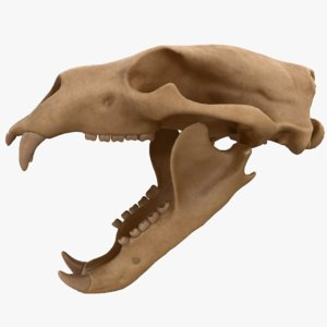 3D model modeled skull bear