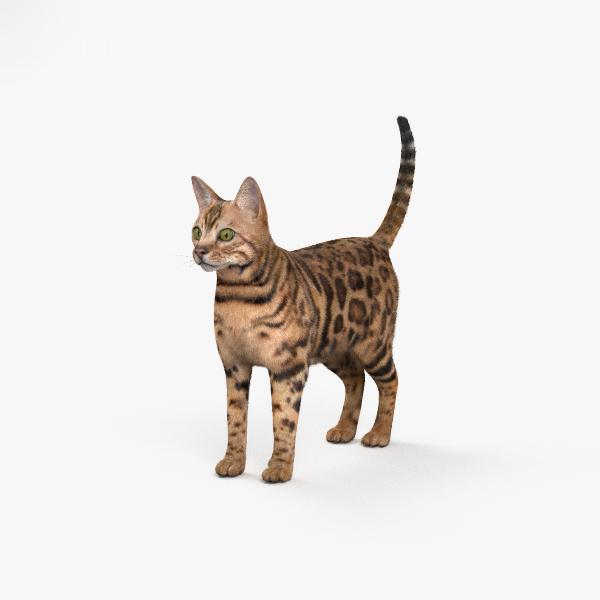 3D cat bengal model