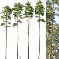Pinus sylvestris #7 H24-27m Four tree set