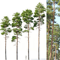 Pinus sylvestris Nr11 H17-22m Four tree set