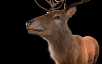 Stag Deer Rigged Hairs