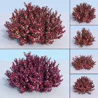 3D 5 japanese barberry nana