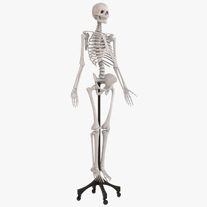 human skeleton medical 3D model