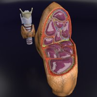 thyroid trachea larynx 3D