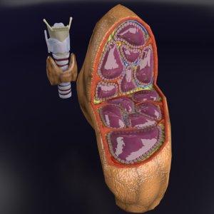 thyroid trachea larynx 3D