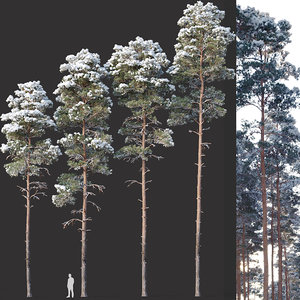 pines snow needles model