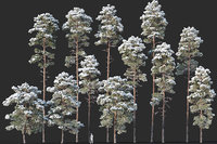Pinus sylvestris Mega Collection Winter 12 models H10-27m