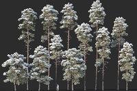 Pinus sylvestris Mega Collection Winter 12 models H10-27m