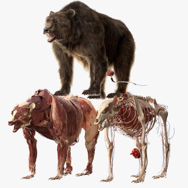 3D bear anatomy model